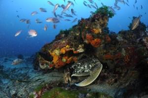 Homard en Méditerranée. Photo de Laurent Ballesta / Andromède océanologie